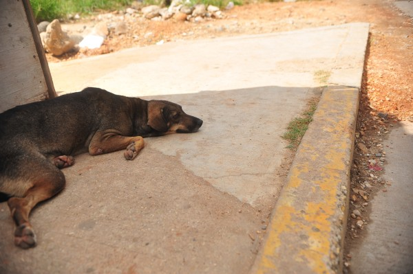 Exigen veterinarios de Veracruz aplicar leyes por maltrato animal