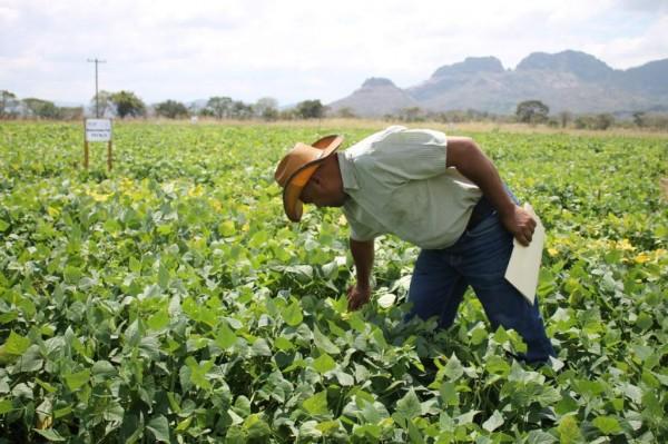 Se desploma 42% la siembra de frijol en México por sequía