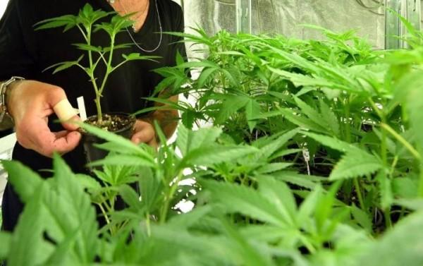 Ofrecen 58 mil pesos mensuales para catador de productos de marihuana