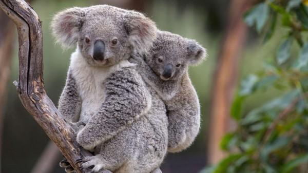 Incendios forestales matan a cientos de koalas en Australia