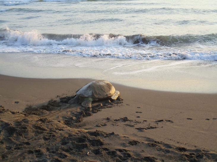 Siguen apareciendo tortugas muertas en playas de Coatzacoalcos