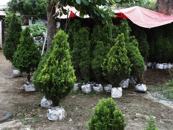 Invitan a tuxpeños a reciclar árboles navideños