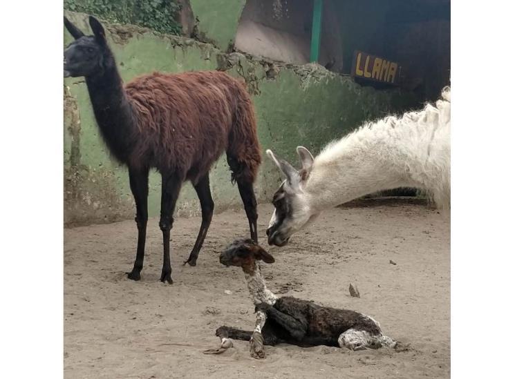 Nace segunda cría de llama en Unidad Ambiental de Orizaba