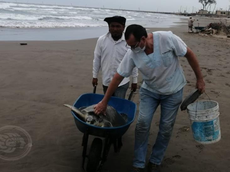 Atienden a tortuga Golfina luego de desovar en playas de Coatzacoalcos