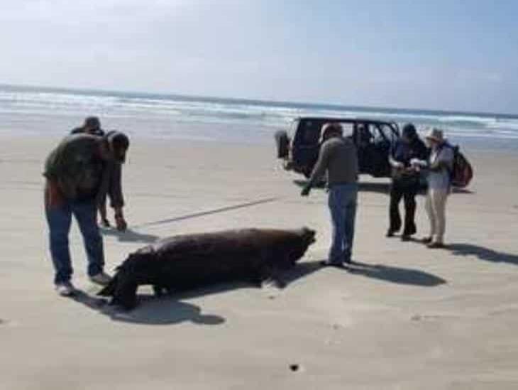 Hallan a 25 lobos marinos muertos en costas de BCS