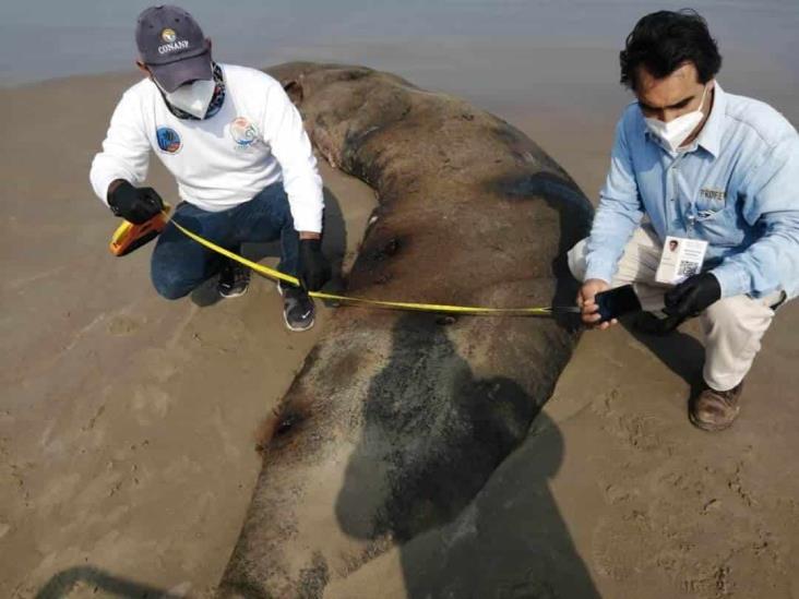 Reportan muerte de especies marinas al norte de Veracruz